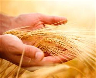 Offering 8,000 tonnes of Wheat and Durum Wheat